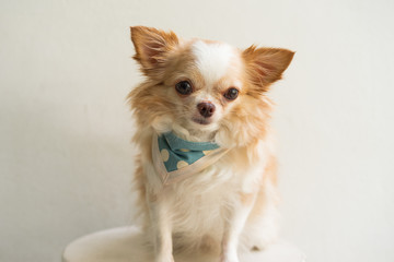 Small cute brown chihuahua looking at camera sitting on white background.