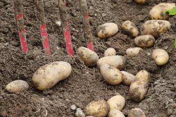 Kartoffelernte im Biogarten