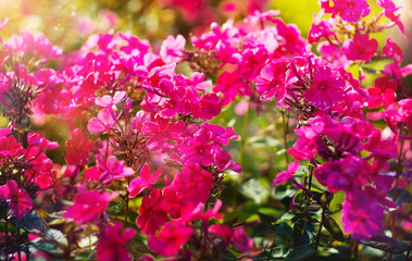 beautiful flower pink Phlox paniculata, summer background in the garden, invitation card