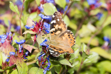 Macro Painted Lady Butterfly in Aster Flowers