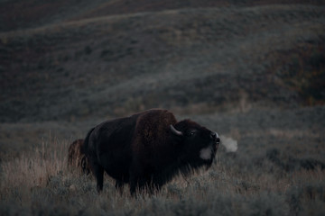Bison Breathing