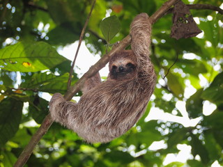 Young brown throated three toed sloth climbing on a branch in the jungle, Panama, Central America