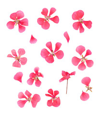 series dried pressed petals of flowers of delicate pink geranium isolated on white