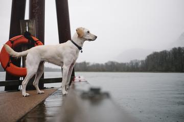 Dog Sitting on Dock