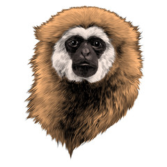 Gibbon monkey sketch vector graphics head colored drawing