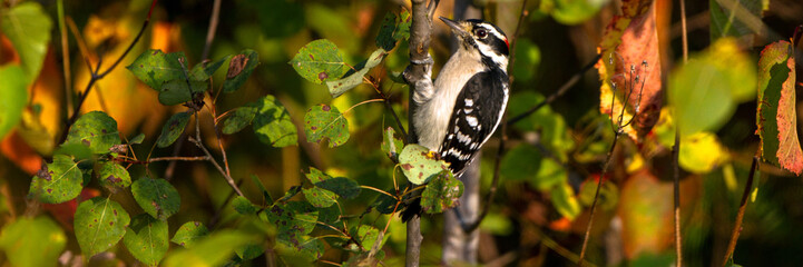 Male Downy Woodpecker in autumn leaves at Necedah National Wildlife Refuge in Wisconsin