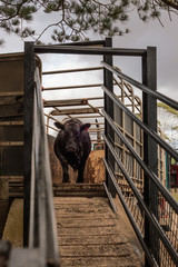 a bull being unloaded down a ramp on a cattle farm