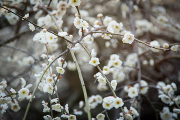 White plum blossoms in Spring