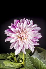 Beautiful white and purple Dahlia flowers on black background