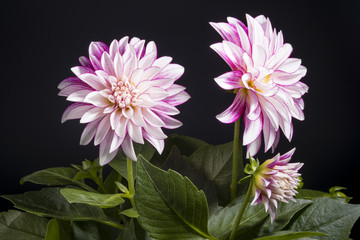 Bunch of Dahlia on black background