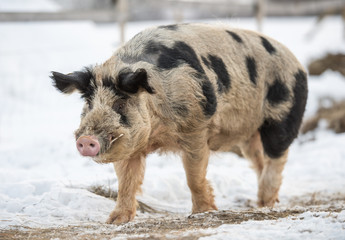 pigs on a winter farm