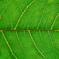 A fragment of a green leaf of hazel with veins, macro photography.