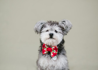 miniature terrier poodle dog wearing bow tie against plain wall