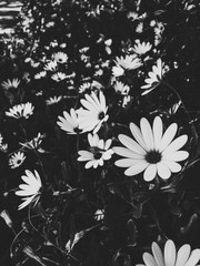 Field of small flowers in black and white