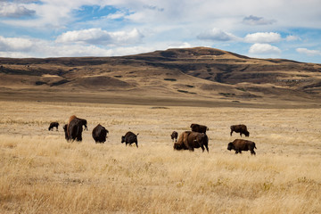 Fotorolgordijn Bison Herd of Bison in Southern Alberta Under Blue Sky