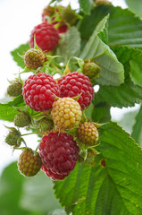 Branch of raspberry with red ripe berries