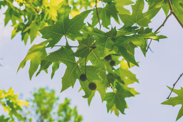 Leaves and seeds of sycamore tree