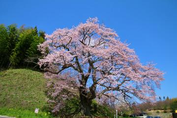 是哉寺地蔵桜(福島県・田村市)