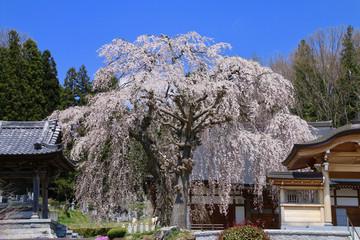 常光禅寺の桜(福島県・田村市)