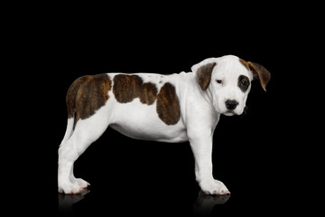 American Staffordshire Terrier Puppy Standing on Isolated Black background, Side view