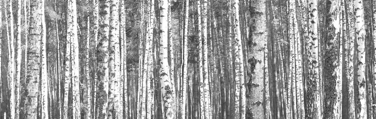 The trunks of birch trees. Black and white panorama with birches in retro style.