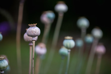 Poppy fruit dry shell head with seeds grown on meadow