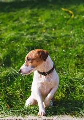 Cute Jack Russell terrier in park