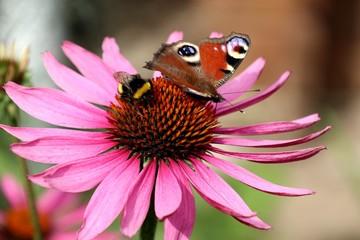 Hummel an Echinacea