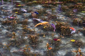 モネの池と鯉
