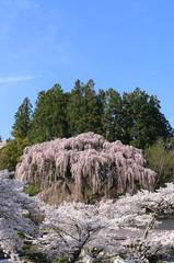 福聚寺のしだれ桜(福島県・三春町)