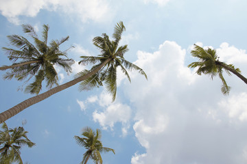 Background of coconut palm tree and blue sky.