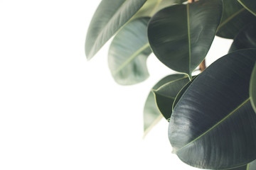 Printed kitchen splashbacks Plant ficus plant
