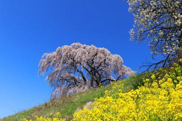 芹ヶ沢桜(福島県・三春町)