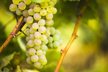 Ripe white grapes on a vine in a vineyard.