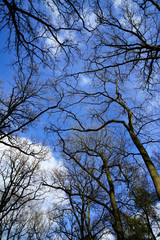 Bare tree branches growing in the forest reaching up into the blue morning sky filled with white clouds