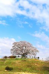 七草木桜(福島県・三春町)