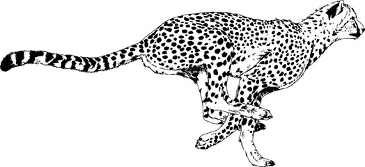 running Cheetah drawn in ink by hand on a white background