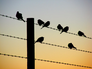 Silhouette of smal birds on a wire fence at dawn