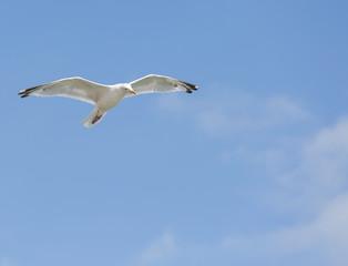 Single seagull in flight on blue sky
