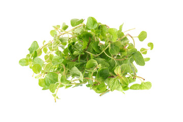 Fresh Oregano herb on a white background