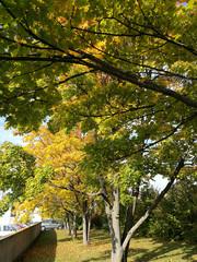 Ahornbäume im Herbst in der Stadt