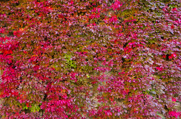 Background with red ivy wall, autumnal time, Europe