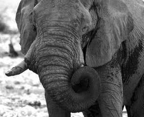 close up Black & white elephant with trunk curled