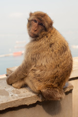 A gibraltarian ape is looking at you
