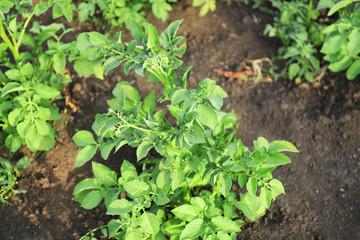 Potato in garden on sunny day