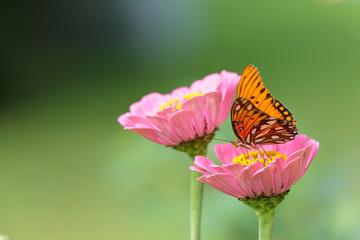 Monarch Butterfly Zinnas