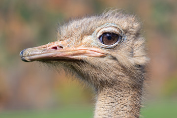 The ostrich or common ostrich is a species of large flightless birds native to Africa.