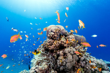 Poster Under water Tropical fish swimming around a healthy tropical coral reef