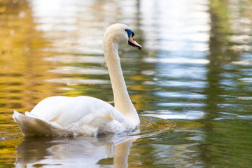 a white swan swims on a lake
