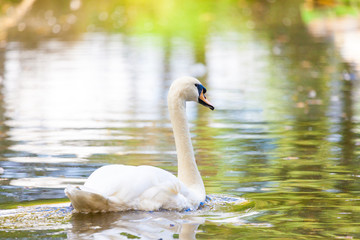a white swan swims on a lake